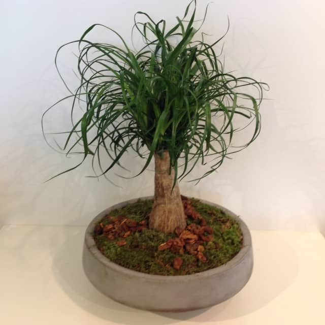 Ponytail Palm Bonsai Verdant Floral Studio